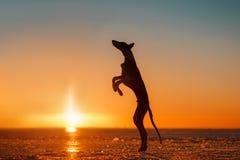 Mooie hond bij zonsondergang in de winter Stock Foto's