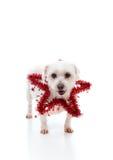 Mooie hond met een rode klatergoudster Stock Afbeeldingen