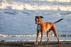 Mooie hond op het strand stock fotografie