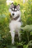 Mooie hond Siberische Schor Royalty-vrije Stock Afbeeldingen