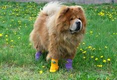 Mooie hond in sokken royalty-vrije stock afbeelding