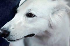 Mooie hond van sneeuw witte kleur Sluit omhoog portret, wijze blik royalty-vrije stock foto
