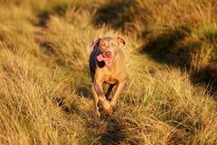 Mooie hond Weimeraner die in gras loopt Stock Afbeeldingen