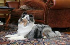 Mooie hond in woonkamer Stock Afbeelding