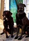 Mooie honden die op portiek stellen Royalty-vrije Stock Foto