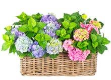 Mooie hortensia op wit. kleurrijke hydrangea hortensia Royalty-vrije Stock Fotografie