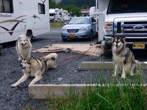 Mooie huskies van Alaska royalty-vrije stock fotografie