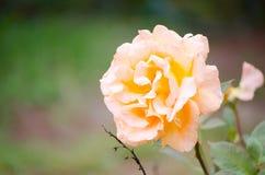 Mooie Hybride Oranjegeel nam in een lentetijd toe bij een botanische tuin Royalty-vrije Stock Afbeeldingen