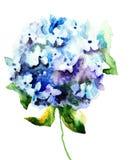 Mooie Hydrangea hortensia blauwe bloemen Royalty-vrije Stock Afbeelding