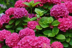 Mooie hydrangea hortensia'sbloei in de tuin royalty-vrije stock afbeelding