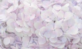 Mooie hydrangea hortensia'sbloemen in zachte roze en purpere kleur Stock Fotografie