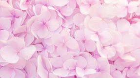 Mooie hydrangea hortensia'sbloemen in zachte roze kleur Royalty-vrije Stock Fotografie