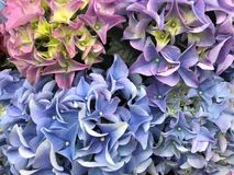 Mooie hydrangea hortensiabloemen in volledige bloei royalty-vrije stock foto's