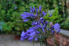 Mooie installatie met blauwe bloemblaadjes Royalty-vrije Stock Foto