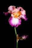 Mooie irisbloem Stock Afbeeldingen