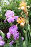 Mooie irisbloemen Royalty-vrije Stock Foto