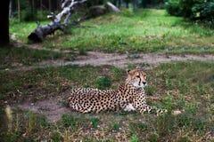 Mooie Jachtluipaard, Acinonyx-jubatus die op groen gras liggen en camera bekijken waakzame gepardclose-up royalty-vrije stock foto's