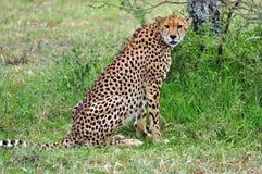 Mooie Jachtluipaard in Nationaal Park Serengeti Stock Afbeeldingen
