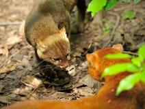Mooie jaguarundi Stock Foto