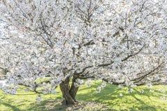 Mooie Japanse kersenboom in volledige bloesem Stock Foto