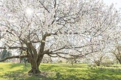 Mooie Japanse kersenboom in volledige bloesem Royalty-vrije Stock Foto's