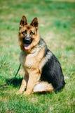 Mooie Jonge Bruine Duitse herder Dog Sitting Stock Afbeelding