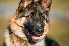 Mooie Jonge Bruine Duitse herder Puppy Dog Royalty-vrije Stock Afbeeldingen