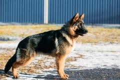 Mooie Jonge Bruine Duitse herder Puppy Dog Stock Afbeeldingen