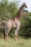 Mooie jonge giraf die zich lang bevinden Stock Foto
