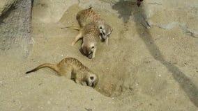 Mooie jonge kleine eekhoorns met leuke acties in een openbaar park stock videobeelden