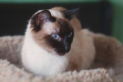Mooie, Jonge Siamese Vrouwelijke Kat, Lounging op Huisdierenbed Royalty-vrije Stock Afbeelding