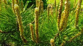Mooie jonge spruiten van de pijnboom royalty-vrije stock afbeeldingen