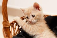 Mooie jonge vermoeide kat Royalty-vrije Stock Fotografie