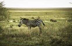 Mooie Jonge zebra in Serengeti Royalty-vrije Stock Afbeeldingen