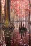 Mooie kale cipresbomen in de herfst roestig-gekleurd gebladerte, hun bezinningen in meerwater Het Park van de Chicotstaat, Louisi stock foto's