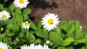 Mooie kamillesbloei in een tuin en slingering in de wind Aard van de zomer, bloemgebieden, wilde bloemweide, plantkunde stock footage