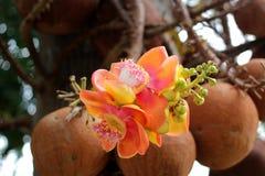 Mooie kanonskogelboom met aardachtergrond royalty-vrije stock foto's