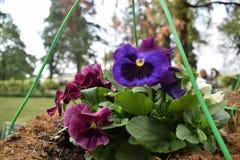 Mooie kastanjebruine en blauwe bloem Royalty-vrije Stock Foto's