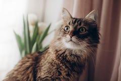 Mooie kat die met grote bakkebaarden van curiosa de groene ogen kijken en fu Stock Afbeeldingen