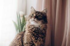 Mooie kat die met grote bakkebaarden van curiosa de groene ogen kijken en fu Stock Foto