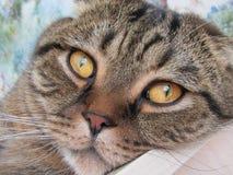 Mooie kat, ogen, neus Stock Foto's