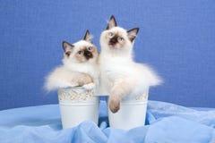 Mooie katjes Ragdoll binnen emmers Stock Afbeelding