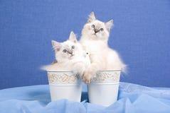 Mooie katjes Ragdoll binnen emmers Royalty-vrije Stock Afbeeldingen