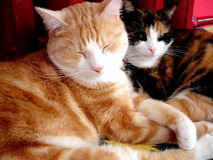 Mooie katten Royalty-vrije Stock Afbeeldingen