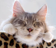Mooie kattenslaap Stock Fotografie