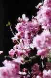 Mooie kersenbloesem Stock Afbeeldingen