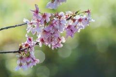 Mooie kersenbloesem bij het Regionale Park van Schabarum Royalty-vrije Stock Fotografie
