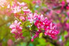 Mooie Kersenbloesem in de lentetijd in de zon Abstracte nationaal Stock Foto