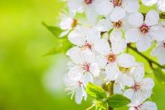 Mooie kersenbloesem ` Sakura `, close-up Stock Afbeeldingen