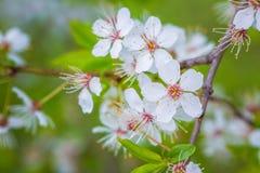 Mooie kersenbloesem ` Sakura `, close-up Stock Fotografie